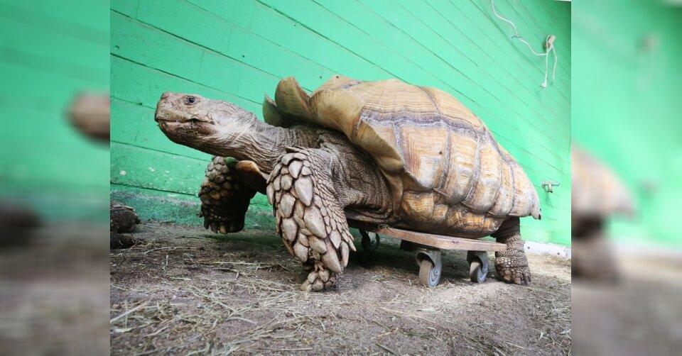108-Kilo-Schildkröte Helmuth ist wieder mobil