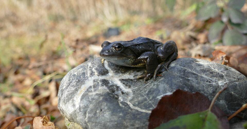 Es wird Warm und die Nächte kürzer: die Amphibien gehen auf Hochzeitsreise