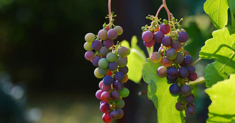 Auf den Spuren des Weins auf der Insel Reichenau
