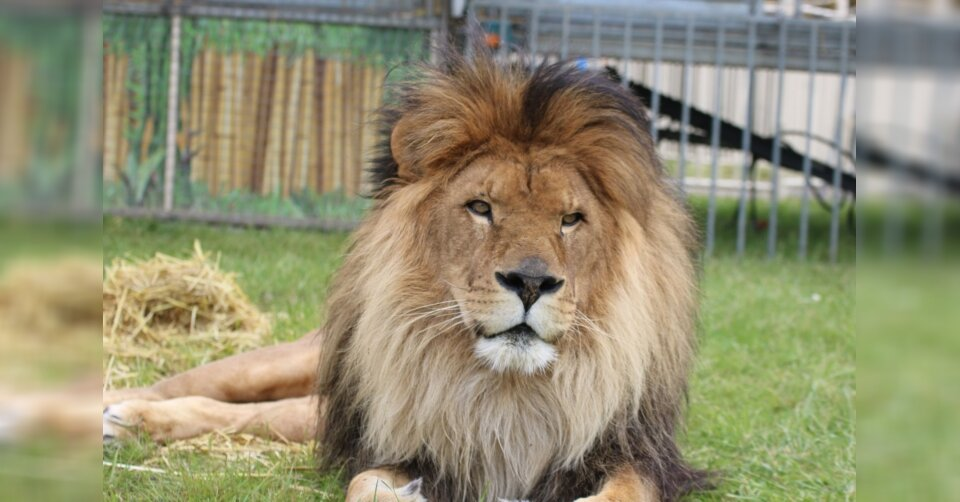 Berühmter Löwen-Opa Kasanga vom Circus Krone gestorben