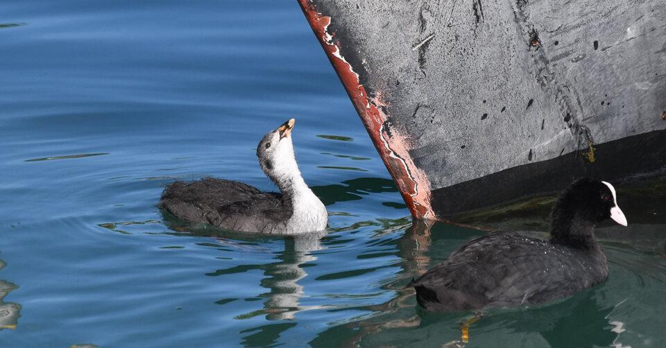 Wohnraum für Wasservögel in Bodenseehäfen