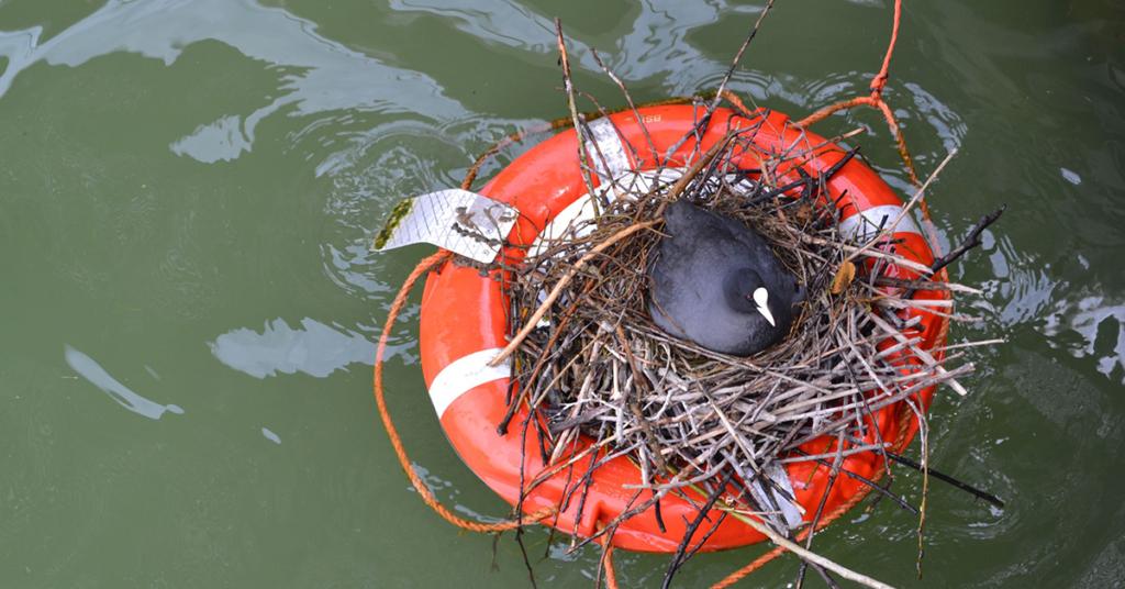 Ein Nistfloß im BSB-Hafen von Friedrichshafen ist bereits mit Blässhühnern besetzt.