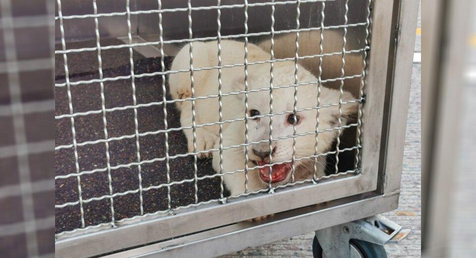 Bye, bye Lea: Weißes Löwenbaby kommt nach Spanien