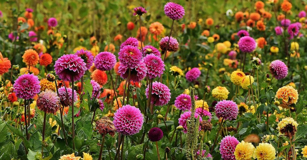 Aus aller Welt, bis aus Kolumbien oder Korea kommen die Dahlienfreunde nach Lindau, um diese unvergleichliche Blütenpracht zu bewundern
