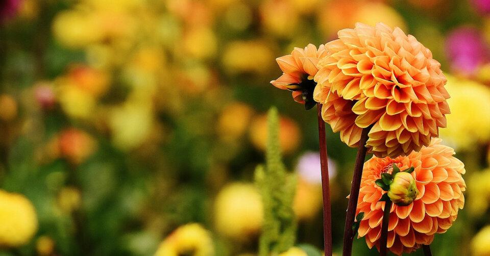 """Lindauer Dahlienschau – ein prachtvolles """"Sommerfeuerwerk"""" aus tausenden von herrlichen Blüten"""