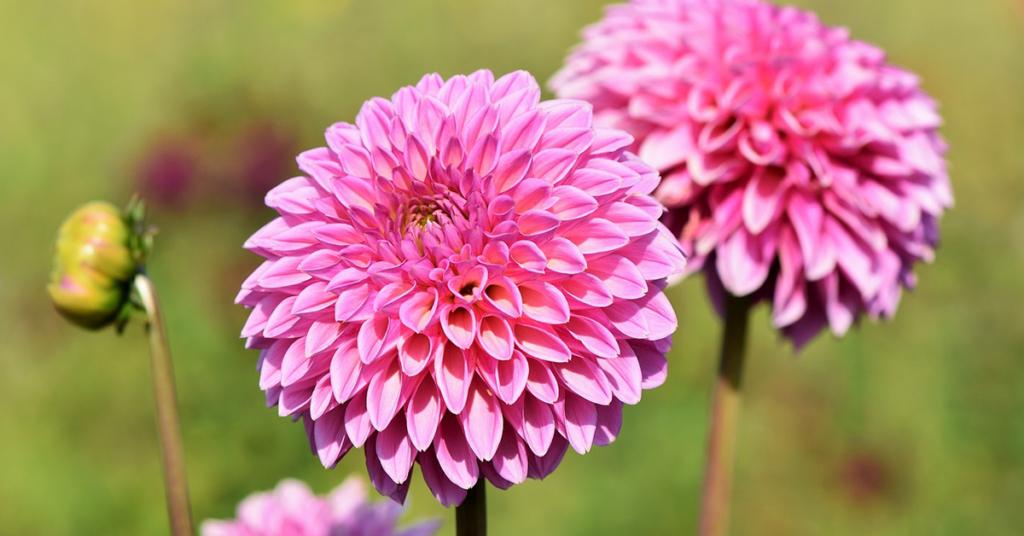 Mehr als 800 verschiedene Schausorten und aus eigener Aufzucht bieten einen wahren Blütentraum