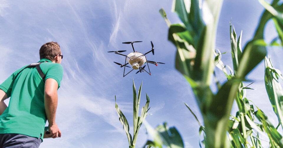 Mit Drohnen geht's dem Maiszünsler an den Kragen
