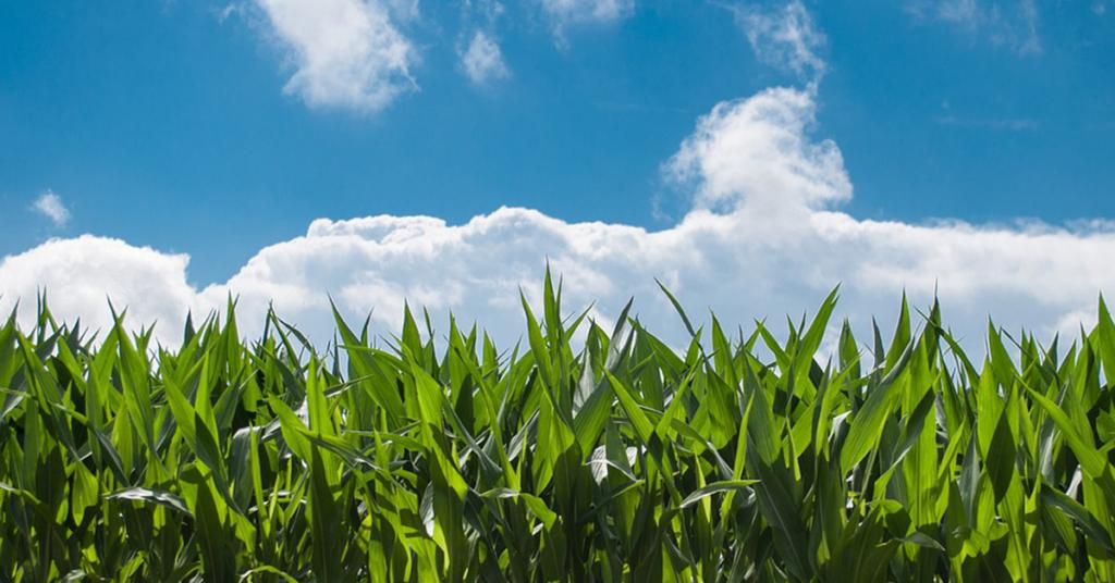 Der Maisanbau hat in Deutschland stark zugenommen.