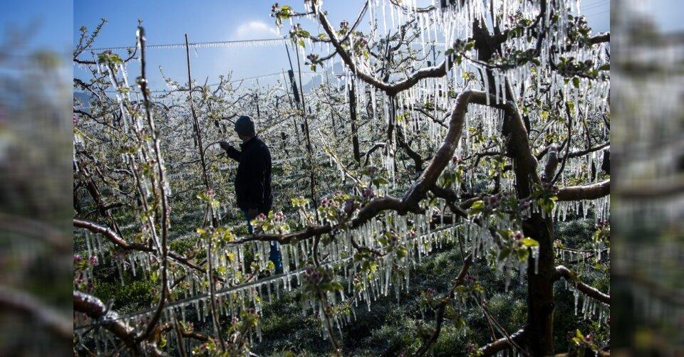 Frost macht den Obstbauern am Bodensee zu schaffen