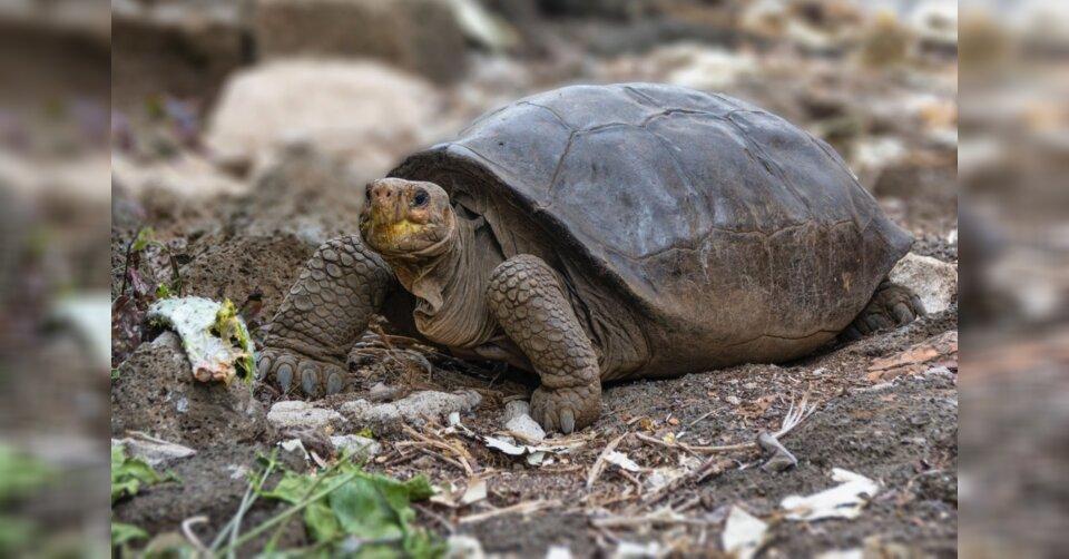 Galt schon als ausgestorben: Riesenschildkröte entdeckt