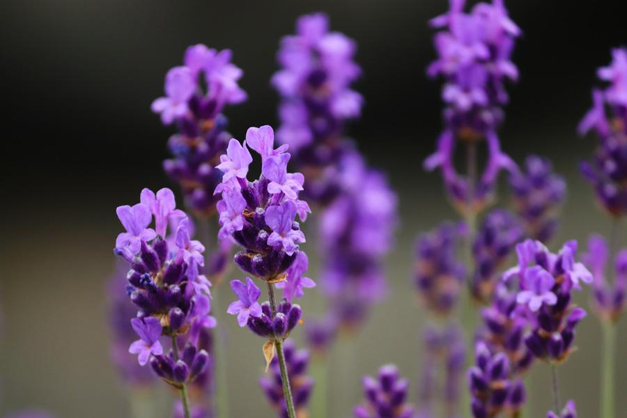 Lavendel Garten & Balkon