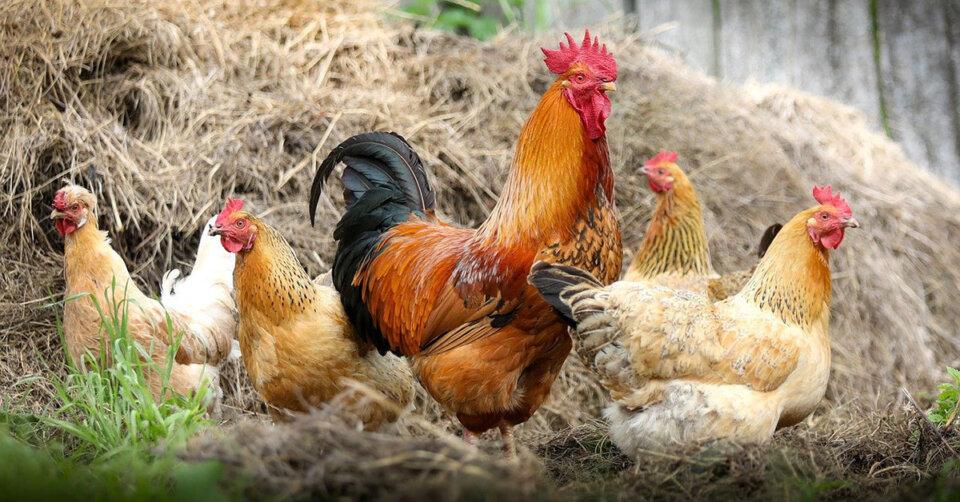 Das Veterinäramt bittet alle Geflügelhalter, ihre Tiere registrieren zu lassen