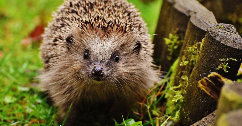 Tierheim Berg-Kernen warnt: Ultraschallfrequenz vertreibt Igel und Eichhörnchen