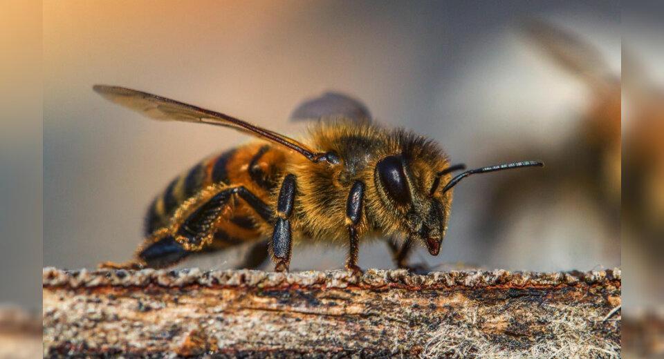 Sperrbezirk wegen Bienenseuche in Teilen von Meckenbeuren