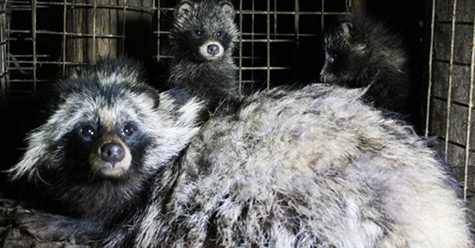 Pelztierfarmen: Tierqual und Risiken für Pandemien
