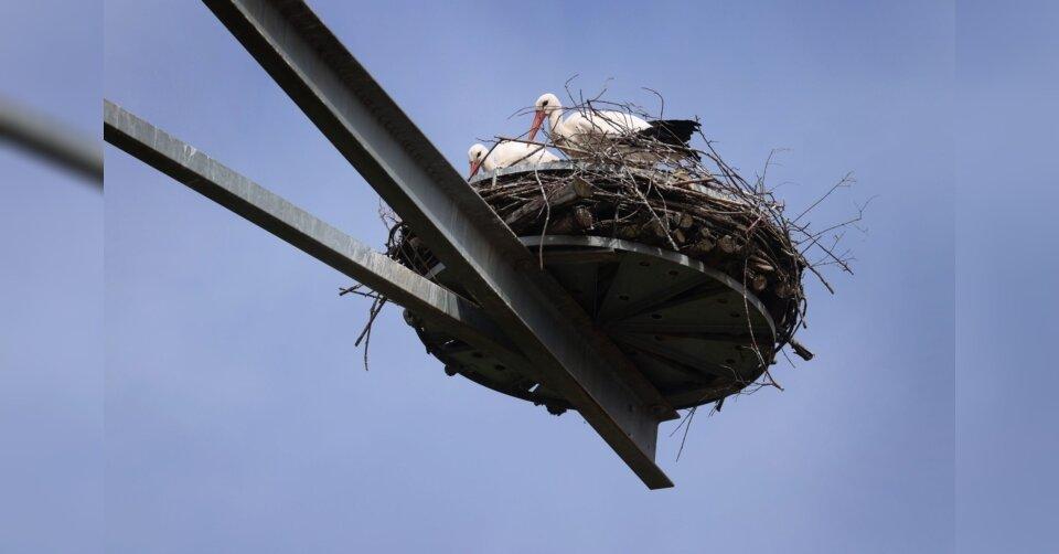 Mehr als ein Dutzend Tiere besiedeln Storchenturm im Allgäu