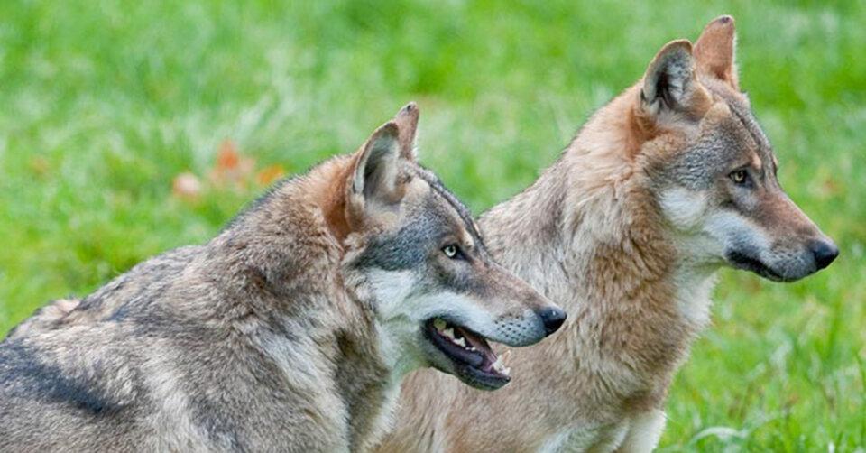 Tag des Wolfes (30. April): Die Wahrheit über Rotkäppchen und den bösen Wolf