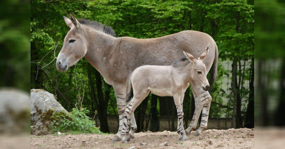 Nachwuchs im Zoo: Fohlen im Nürnberger Tiergarten geboren
