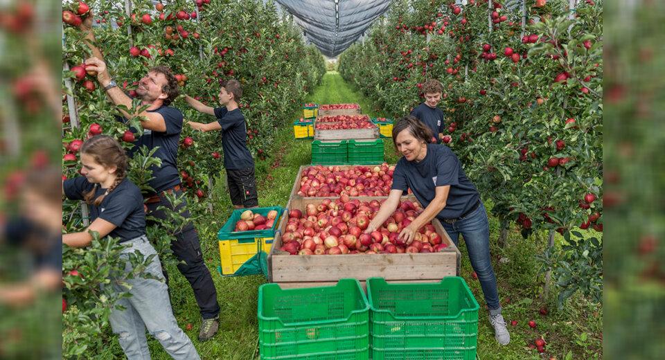 Apfelernte am Bodensee ist in vollem Gange