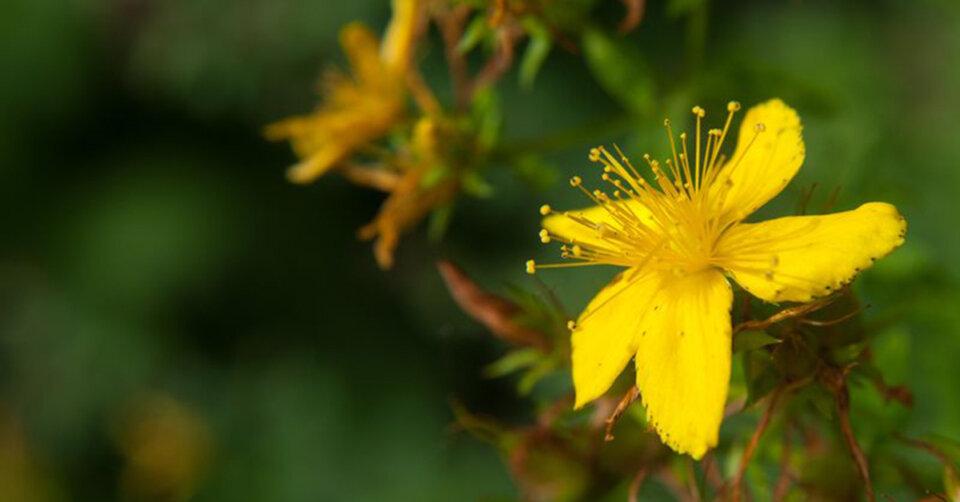Medizin aus Pflanzen: Pflanzliche Arznei kann «rational» oder «traditionell» sein