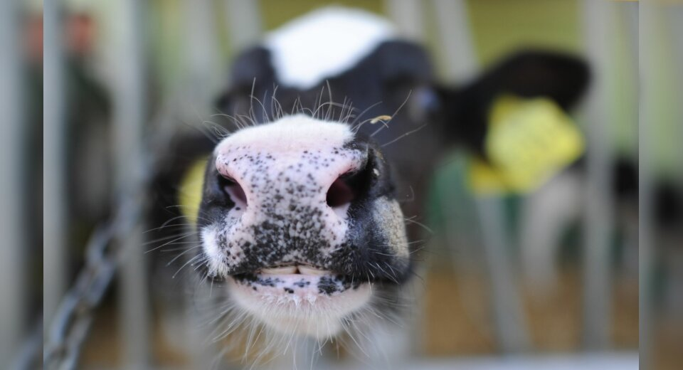 Rinderzüchter aus zehn Bundesländern züchten nun gemeinsam