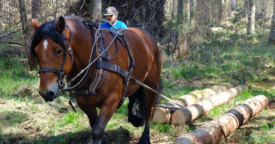 Häfler Seewald: Abtransport der Baumstämme per Rückepferd