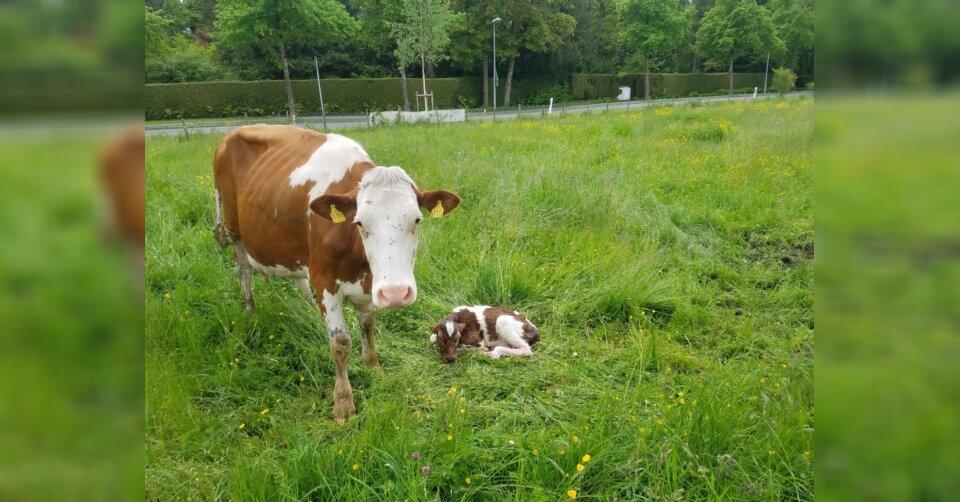 Selbst ist die Kuh: Kalb schneller als Polizei und Bäuerin