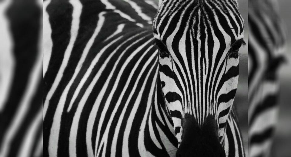 Semesterbeginn an der Jugendkunstschule: Streifenwechsel beim Zebra