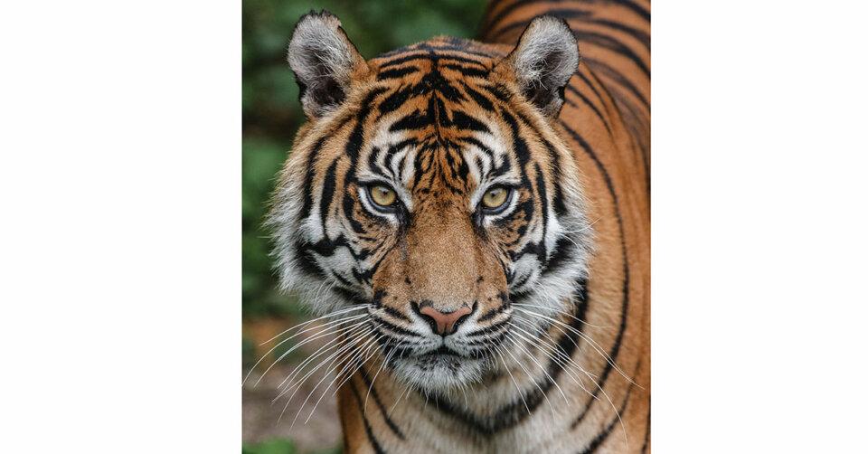 Zweitältester Sumatra-Tiger der Welt in der Wilhelma gestorben