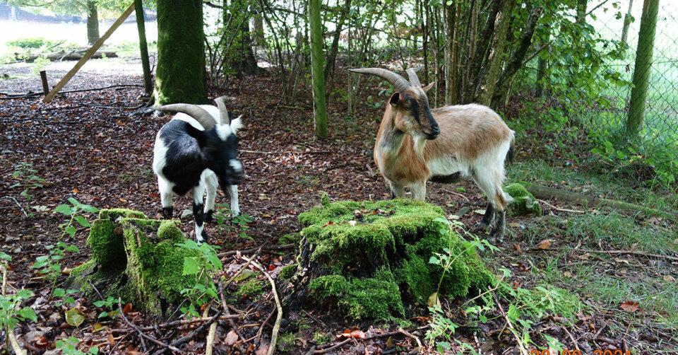 Im Wildgehege gibt es jetzt auch Ziegen – bitte nur mit Futter aus dem Automaten füttern