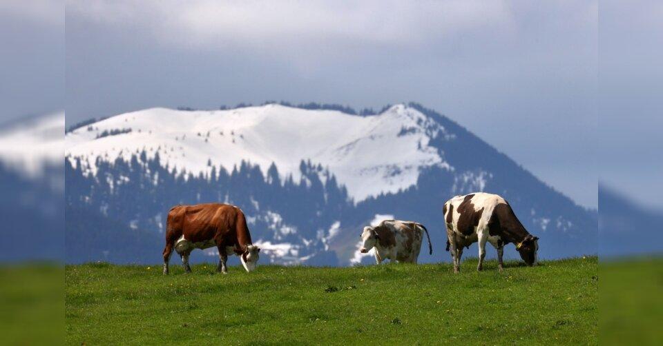 Zu viel Schnee: Kühe dürfen erst später auf Almen und Alpen